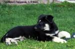 Щенок ВЕО Лавбрил Гардана. Возраст 1,5 мес. Лежа в траве.