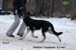 Щенок ВЕО Лавбрил Гардарика (4,5 мес.) на занятиях.