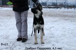 Щенок ВЕО Лавбрил Гардарика (4,5 мес.).