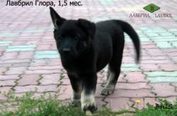 Щенок ВЕО Лавбрил Глора, возраст 1,5 месяца.