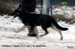 Щенок ВЕО Лавбрил Гордан (4,5 мес.) на занятиях.