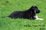 Щенок ВЕО Лавбрил Грайм, возраст 47 суток. В траве.