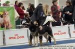 ВЕО Лавбрил Аладея на Всероссийской выставке собак всех пород. 18.01.14. г.С-Петербург.