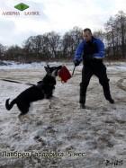 Щенок ВЕО Лавбрил Гардарика, 5 мес. Первые занятия, игра. Фигурант Каськов А.