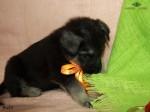 Щенок ВЕО. Мальчик оранжевая нить. Возраст 1мес (4).