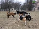ВЕО Лавбрил Бард. 10 мес. Игры щенков.