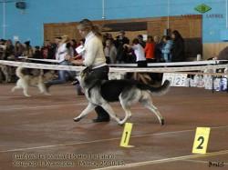 ВЕО Лавбрил Геролена (15 мес). 25.10.15. Ринг. Бег..