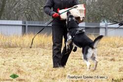 Лавбрил Грайм, 16 мес. Работа в защиту.