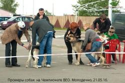 Промеры собак на Чемпионате ВЕО. Молодечно,21.05.16.