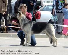 ВЕО Лавбрил Геролена. Хендлер Н.Кузнецова,Молодечно,21.05.16.