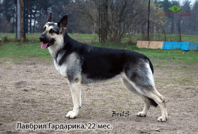 veo-lavbril-gardarika-v-stojke-vozrast-22-mes