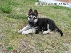 Щенок ВЕО Лавбрил Желан, возраст 2,5 мес.