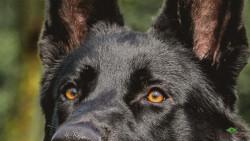 Светлые глаза черной собаки против солнца